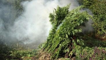 Marijuana Plant Seizures